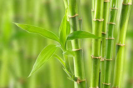 Bambus Baumschule Geiger